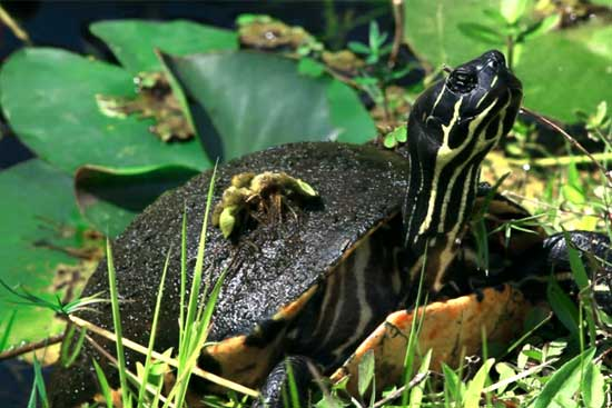 Still frame from a video of a turtle in the Everglades.